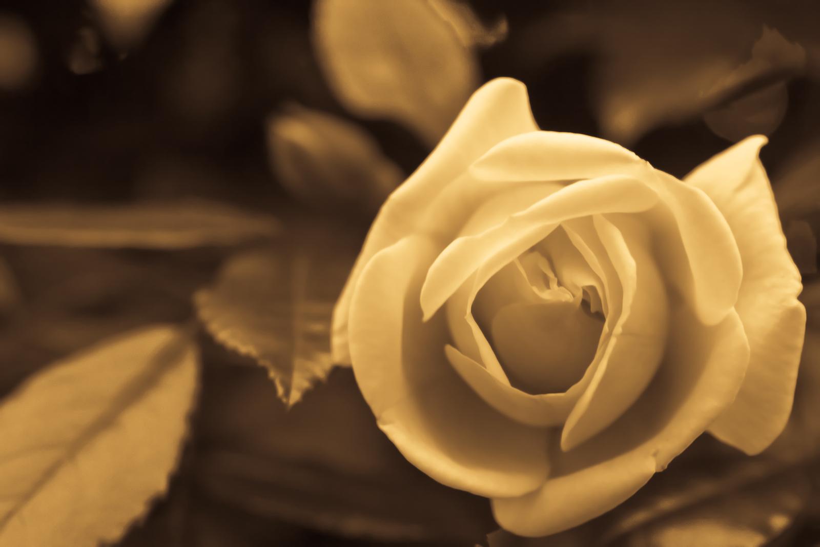 bigstock Rose 1882899